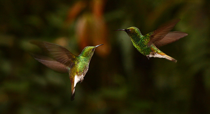 Hummingbirds on the wing